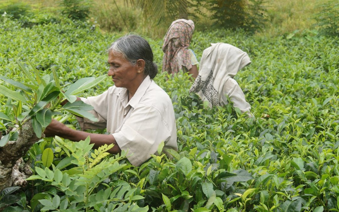 Sri Lanka – Essentiel De Ceylan